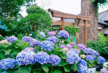 白山神社 東京賞繡球花好去處