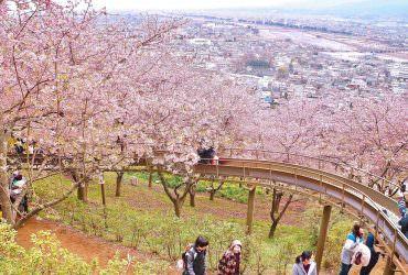 東京近郊|櫻花林裡溜滑梯!來去神奈川縣看河津櫻!西平畑公園松田櫻花祭