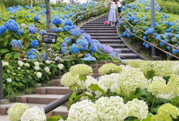 鮮為人知!繡球花季的台場原來這麼夢幻?粉藍粉白繡球花海步道 東京六月景點|台場青海