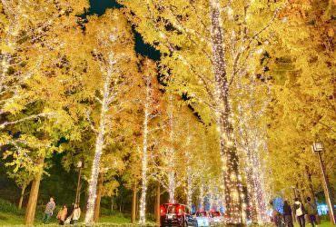 京都超盛大點燈活動 ROHM Illumination 金黃水杉燈飾大道浪漫你的京都旅行