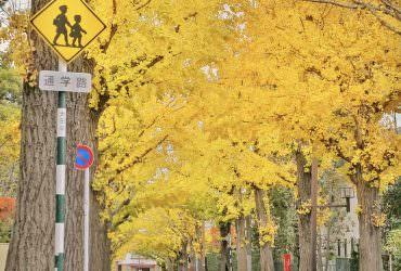 東京高級住宅區的銀杏大道 田園調布的金黃街景 東京11月12月散步景點
