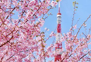 河津櫻花圍繞東京鐵塔哪裡拍?芝公園櫻花拍照景點分享|東京2月3月自由行