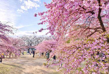 代代木公園賞河津櫻 感受滿滿日本日常感的人間淨土|東京2月3月賞櫻推薦景點