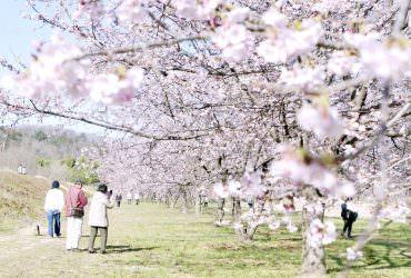 埼玉賞櫻秘境 北淺羽櫻堤公園 淺粉紅色安行寒櫻1.2公里並木|3月東京自由行推薦賞櫻景點