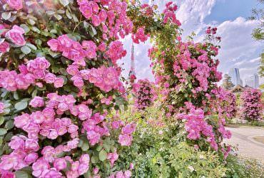 太美!玫瑰花框住東京鐵塔!芝公園的夢幻景緻|東京 5 月賞花拍照景點