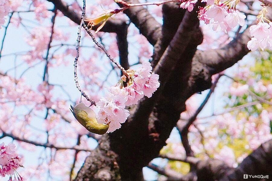 小鳥吃櫻花.jpg