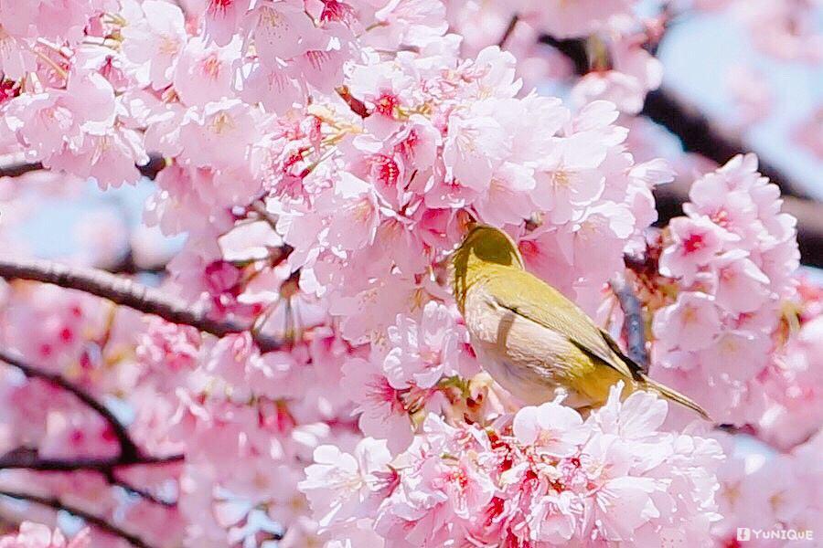 吃櫻花.jpg
