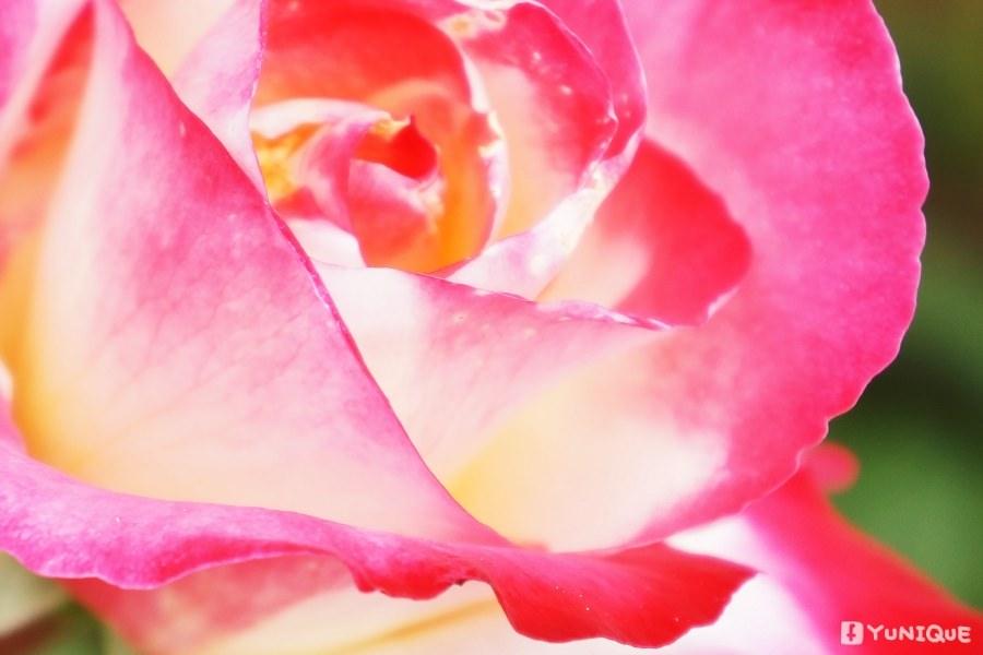 0525_rose_24.jpg
